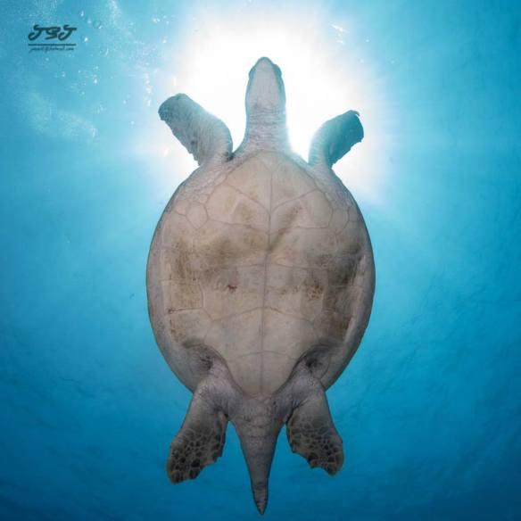 diving in Sipadan, sea turtle