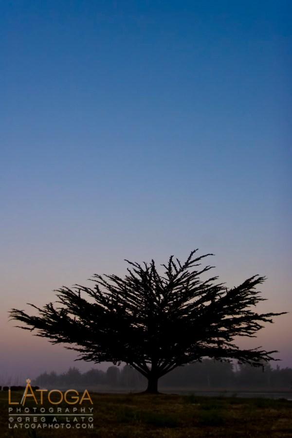 Cypress Tree at Dawn in Eureka, California