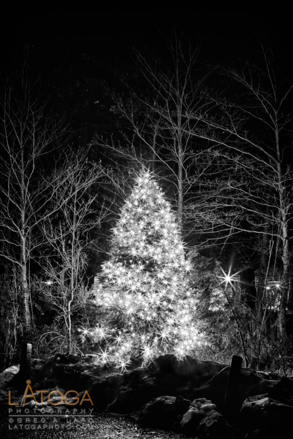 A Christmas Tree from the courtyard of Yosemite Lodge in Yosemite National Park (Black and White HDR)