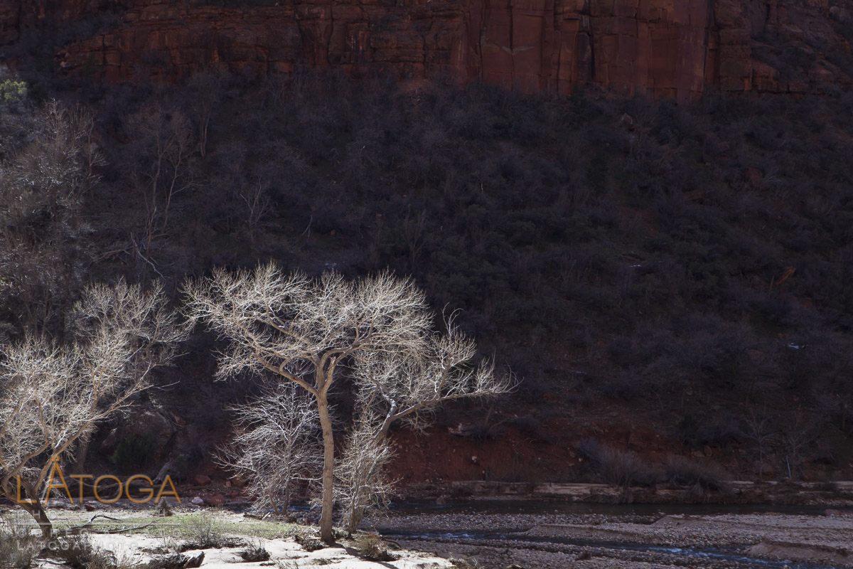 Bare Fremont Cottonwood trees are illuminated along the Virgin River in Zion Canyon at Zion National Park, Utah.