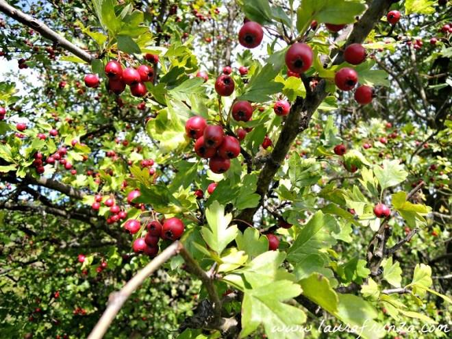 Fructe de păducel, în apropiere de Slănic Prahova