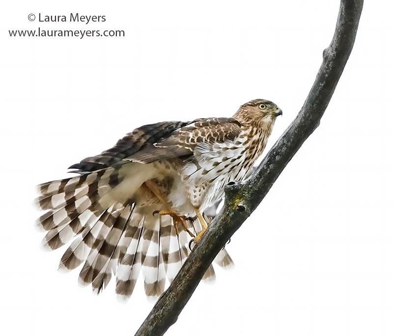 Cooper's Hawk Tail Spread