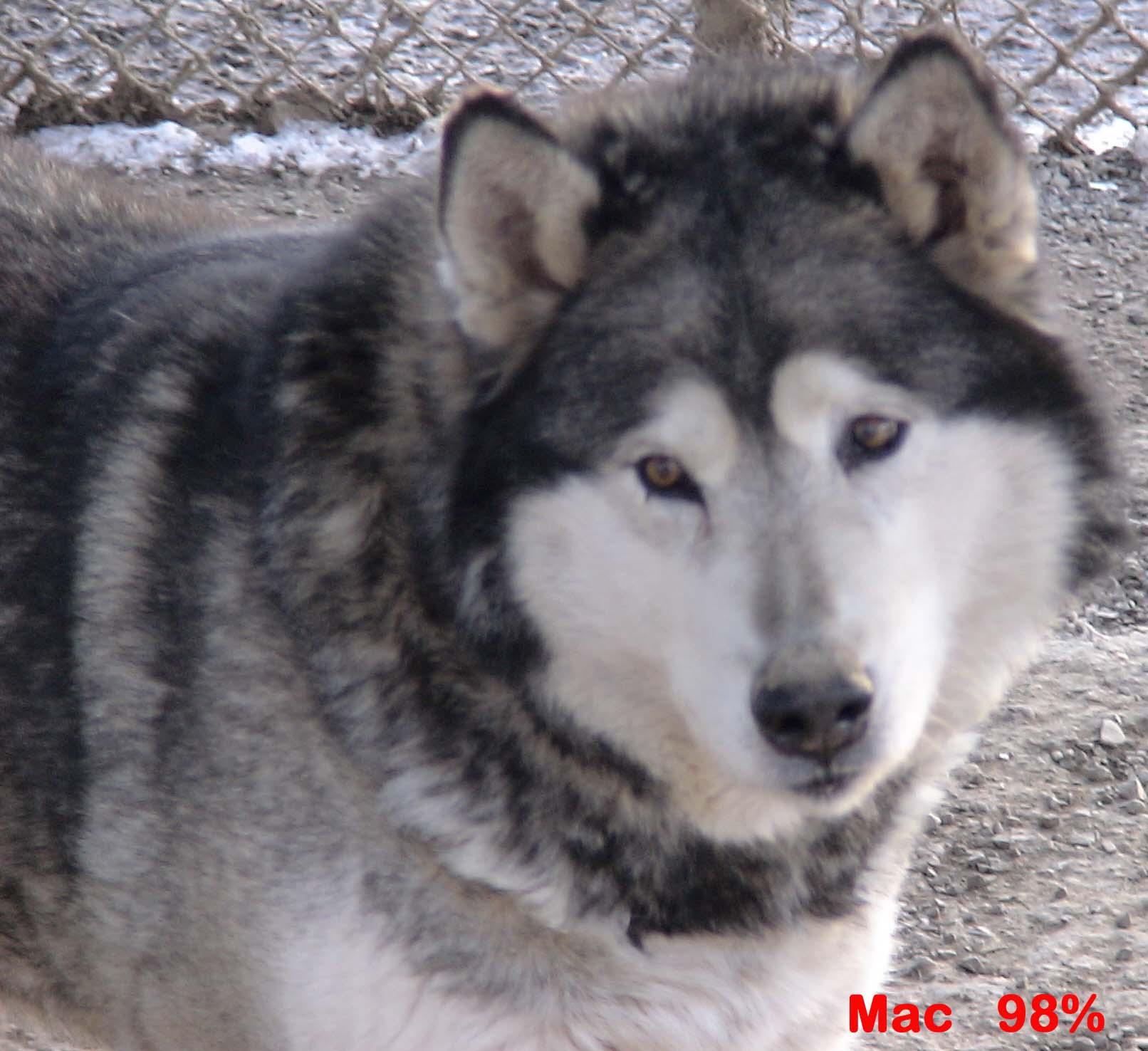 Fullsize Of German Shepherd Wolf Hybrid