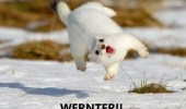 An Ermahgerd animals meme of a white short-tailed weasle jumping around in the snow. Ermahgerd wernter! Omg winter!