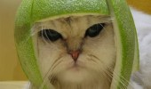 A cat wearing a helmet on its head made from a lime.