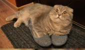 A funny picture of two cats. One cat is wearing a pair of blue slippers or shoes. Hey Carl have you seen my blue.