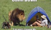 A lion walking near a person that is camping in their tent. Calm down, I'm just saying hi.