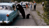 A picture of a bear approaching a car. In the 1950's everyone was nicer. Even bears.