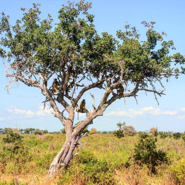 Monkey tree oovatuseloussafaritanzaniaafricadiscoverplanetlookmonkeysviewtreesavagepartirenviedejunglesavane