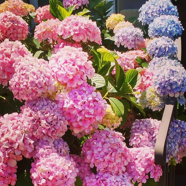 Hydrangeas make me happy.