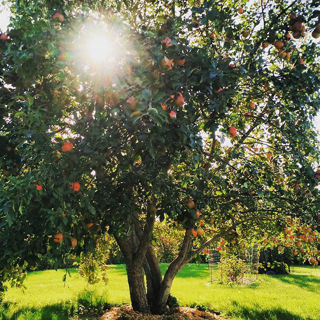 Lovely apple tree planted in honor of my brother Stevie. He passed away when we were very young, but by the abundance of beautiful fruit I can't help but think he is still with us in some way.