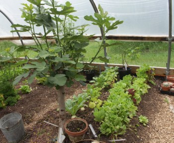 Figs growing, last of greenhouse lettuces