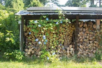 Morning glory against woodshed