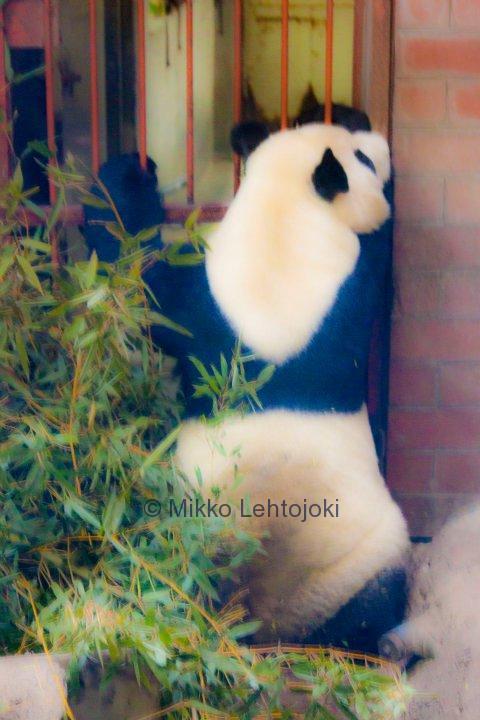 masentunut panda