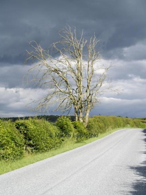 komea puu