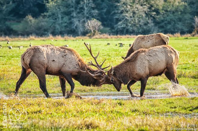 Battle of the Bulls - Breeding Season in Elk Country