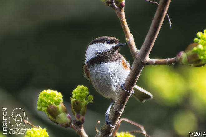 Backyard Songbirds