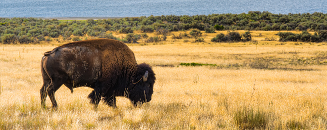 A Herd Apart - The Wild Bison of Antelope Island