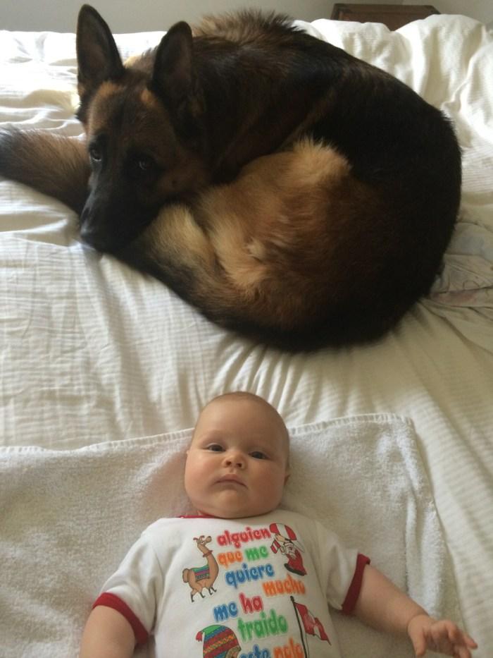German-shepherd-male-on-bed-with-baby-Imogen