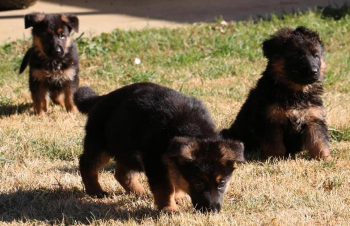 german-shepherd-6-week-old-puppies