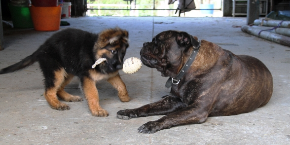 german-shepherd-long-coat-puppy-female-playing-tug-with-friend