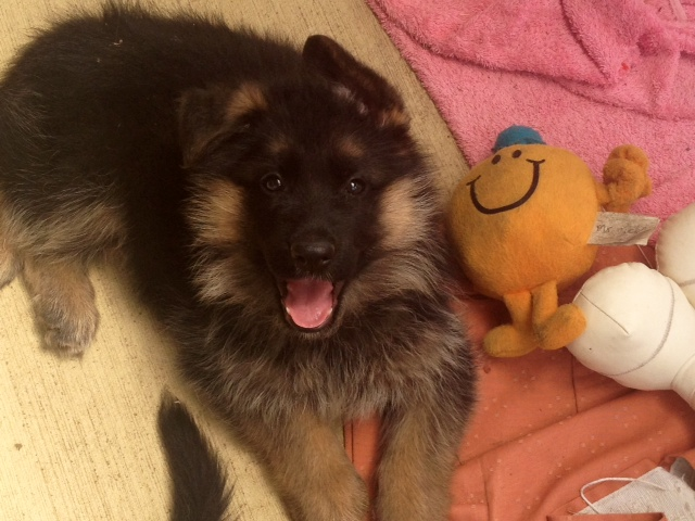 german-shepherd-puppy-long-coat-female