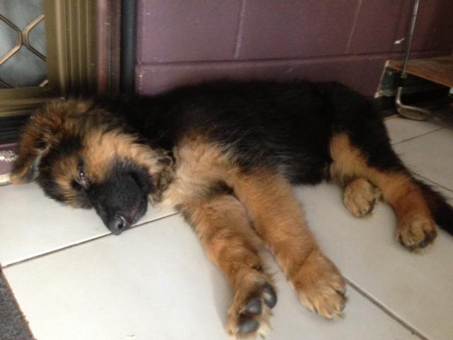 german-shepherd-puppy-sleeping