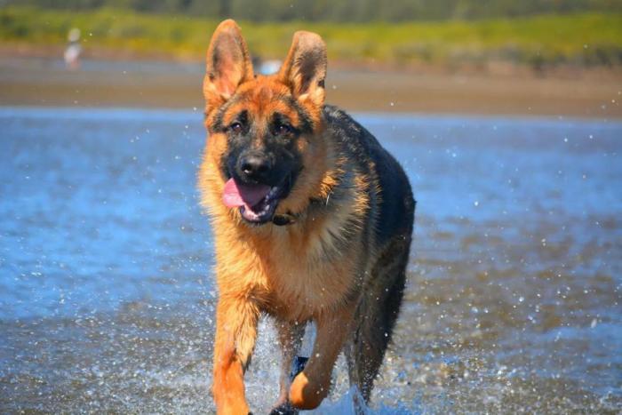 male-german-shepherd-at-the-beach