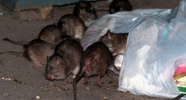 des dizaines de rats dans des poubelles paris la vid o choc d un boueur le libre penseur. Black Bedroom Furniture Sets. Home Design Ideas