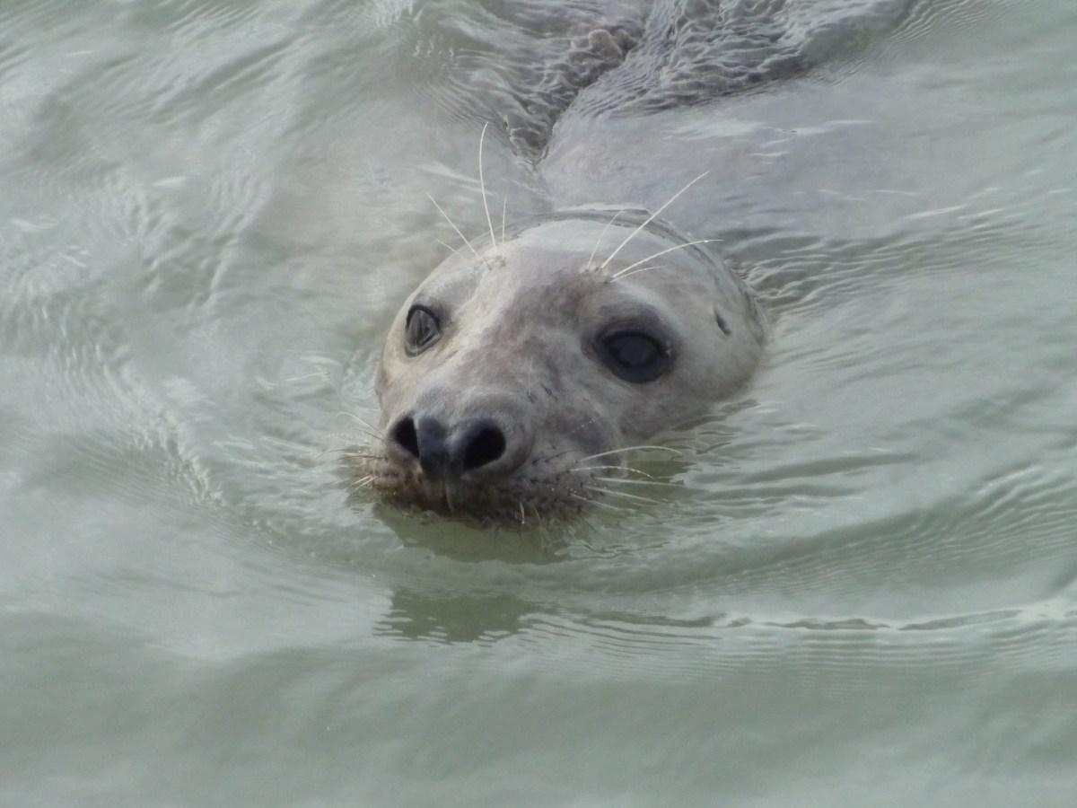 Les phoques chassent au pied des éoliennes offshore