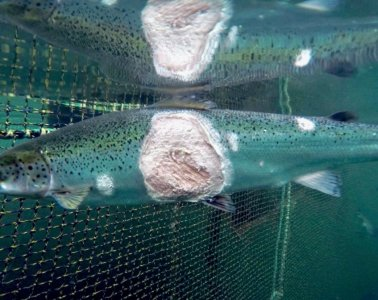 salmon reovirus