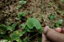 Rau ma : également mangée cru ou bouillie en soupe avec du porc, cette plante est reconnue pour favoriser la digestion et diminuer la température du corps.