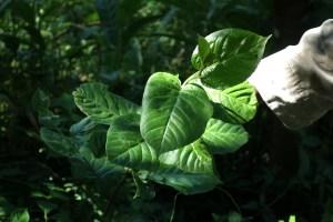 La Loc Lot : les feuilles de cette plante sont cuisinées avec du porc, décidément le porc est partout! On peut également faire bouillir ses tiges pour apaiser les maux de règles.