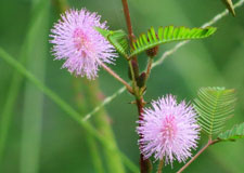 mimosa_pudica225