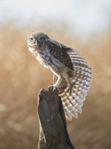 Owlet stretching its wing