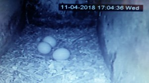 11th April 2018 The third Little Owl egg laid in the Arglam Grange nest box.