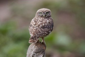 24th July 2019 - Little Owl Owlet visits the hide.