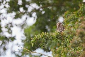 Little Owl, Athene noctua, perched up in the hedgrow, East Yorkshire, England, UK, introduced to Britain 19th century, partly diurnal.