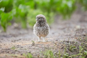 Little Owl Owlet, Athene noctua, hunting on the ground, East Yorkshire, England, UK, introduced to Britain 19th century, partly diurnal.