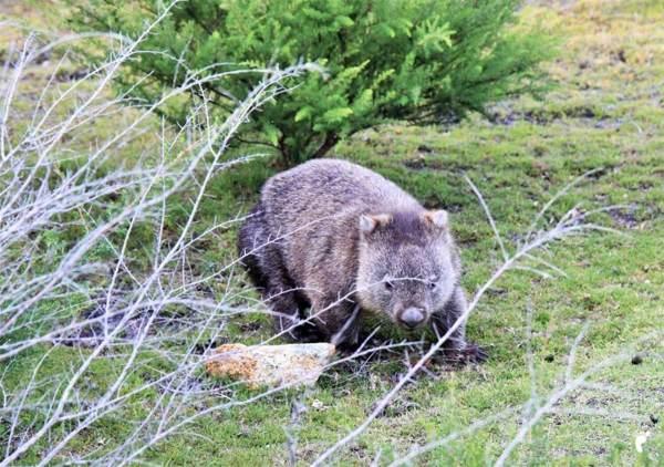 wombat mt william