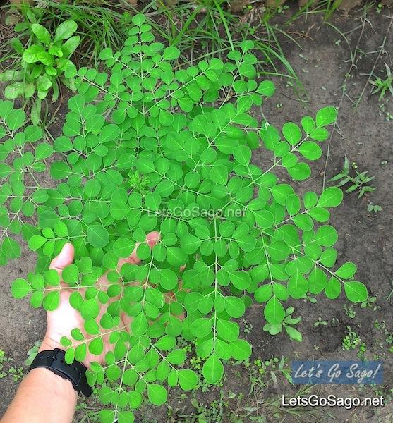 Malunggay Plant