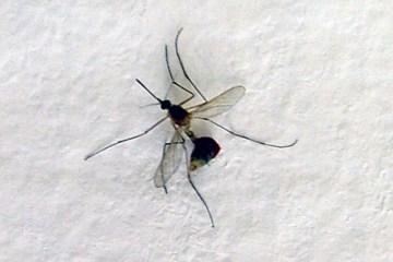 mosquito-2