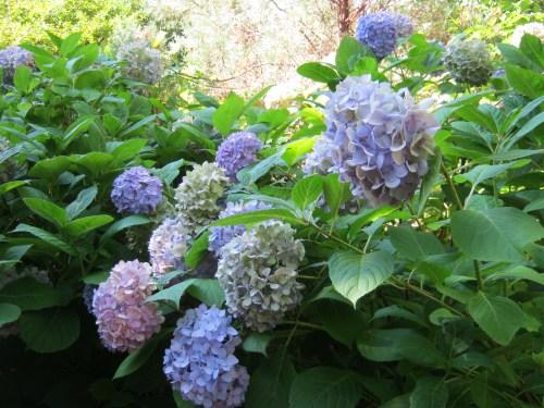 Medium Of Nikko Blue Hydrangea