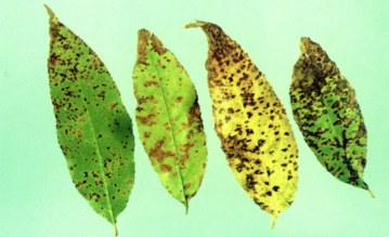 Dealing With Leaf Disease