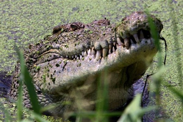 Australia Muses on Saltwater Crocodile Safari Hunts