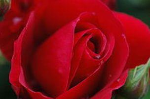218px-Rose7568