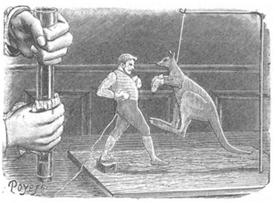 El canguro boxeador
