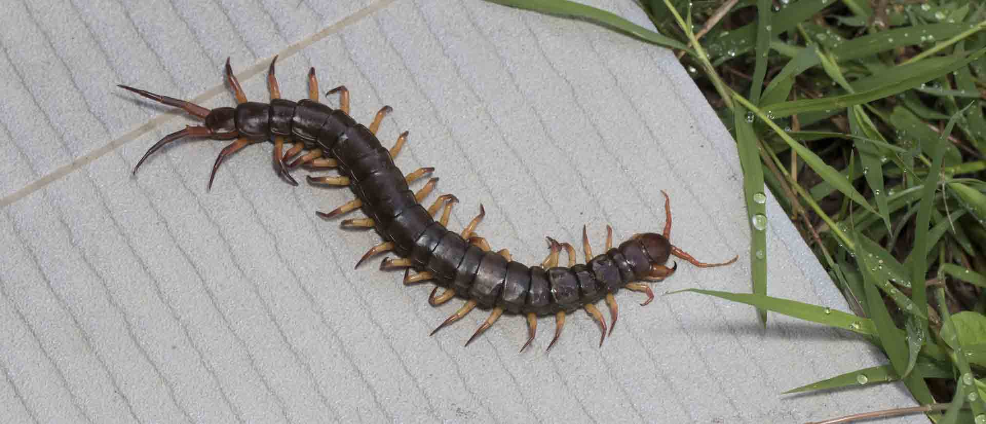 Special Millipedes Centipede Pest Control Crest Crest Pest Control Termite Control Crest License To Kill How To Get Rid My Bathroom How To Get Rid Millipedes Your House houzz-03 How To Get Rid Of Millipedes