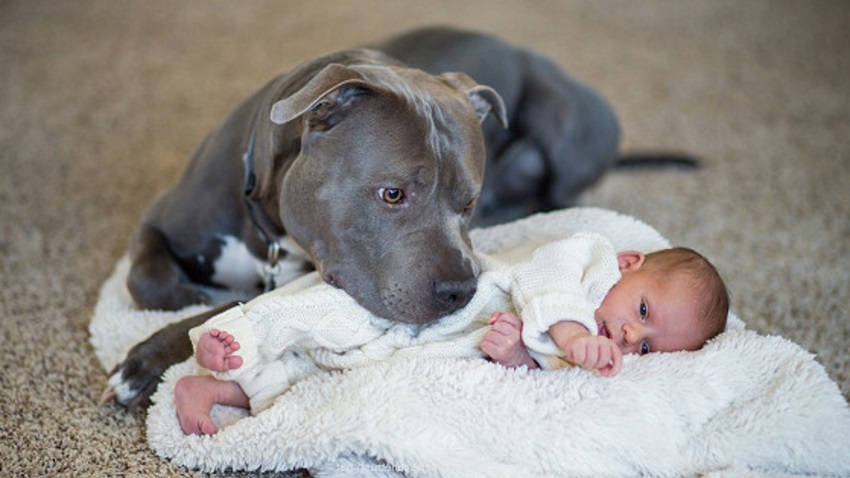 Pit Bull and a Little Girl