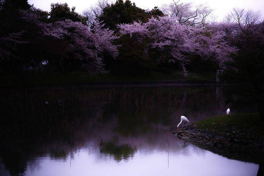 Sakura Reverie - spring-japan-cherry-blossoms-national-geographics